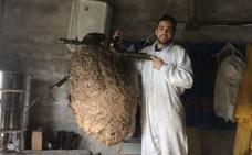 Retiran un nido «gigante» de avispa asiática a la entrada de Luarca