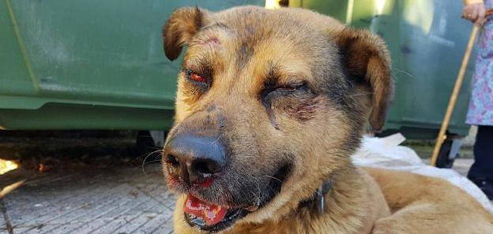'Nicolás', el perro maltratado en Oviedo, ya tiene candidatos para su adopción