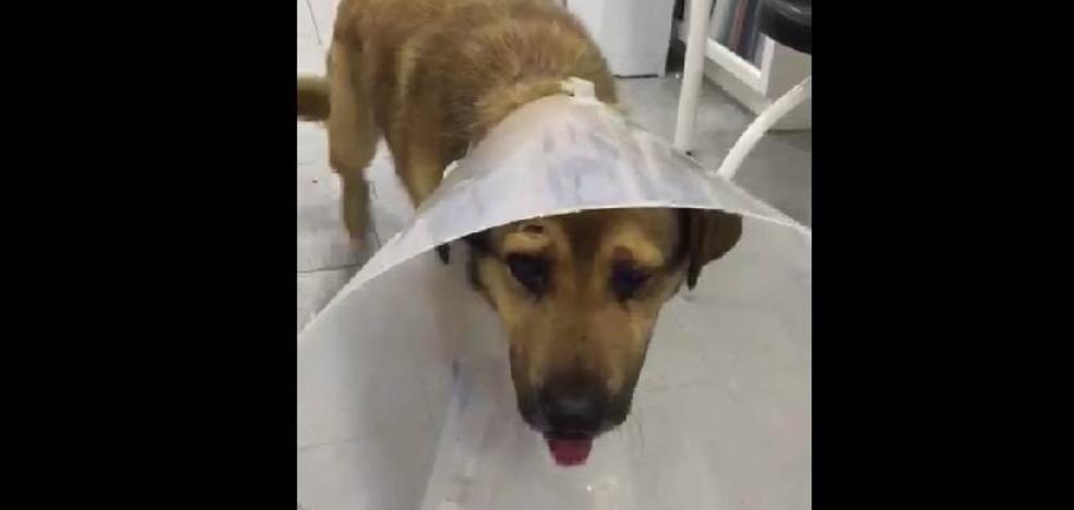 'Nicolás', el perro maltratado de Oviedo, vuelve a ponerse en pie