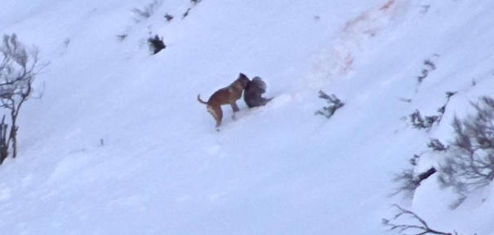 Fapas muestra el daño de los perros a la fauna salvaje asturiana