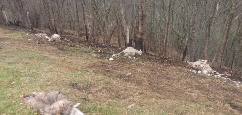 Un nuevo ataque del lobo en Allande deja ocho ovejas muertas y cinco heridas