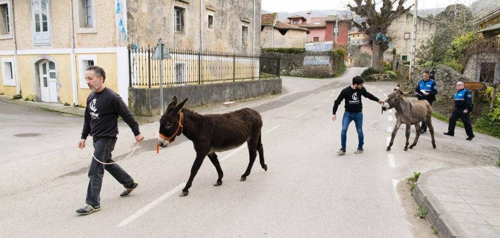 La protectora llanisca Mundo Vivo rescata dos burros de una finca con «decenas de animales muertos»