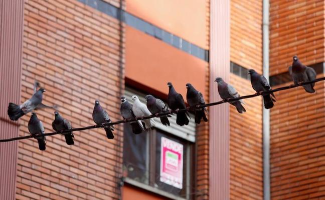 Un plan 'anticonceptivo' para palomas