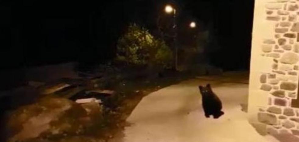 El Gobierno de Cantabria mantiene activo un operativo para capturar al oso herido de Liébana