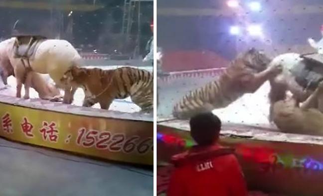 El brutal ataque de un león y un tigre a un caballo en un circo chino