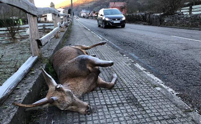 Aparece un venado muerto en la carretera de Felechosa