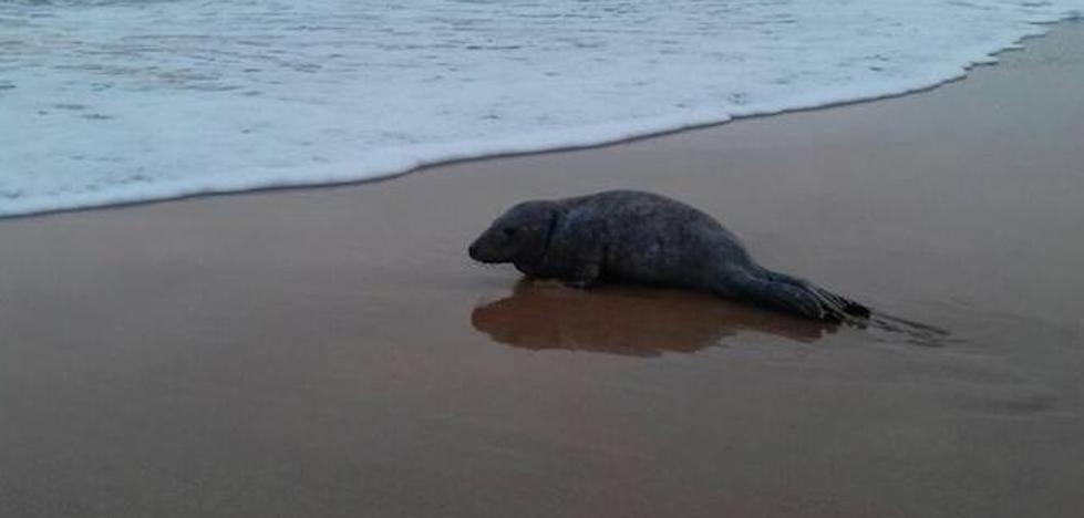 Aparece una cría de foca varada en una playa del Oriente