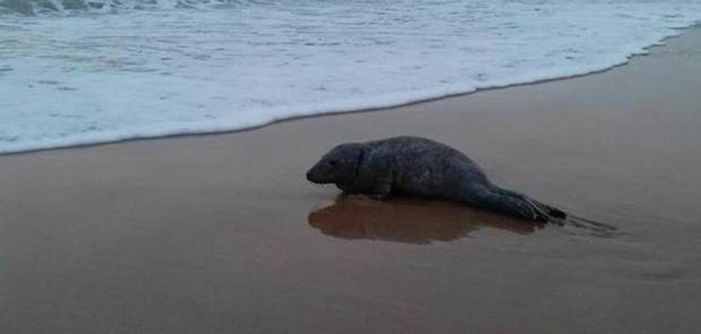 El Principado cree que la foca encontrada en una playa de Colunga «volvió al mar»
