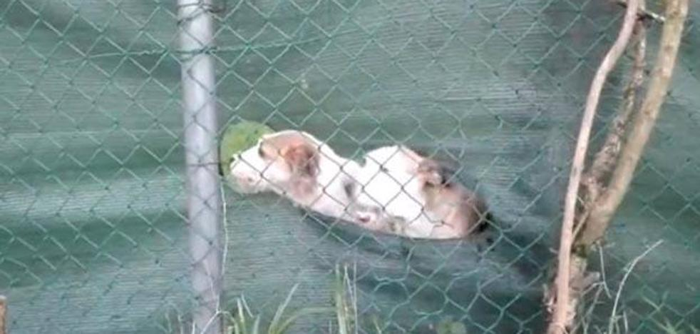 Denuncia contra el dueño de uno de los perros abandonados en Corvera