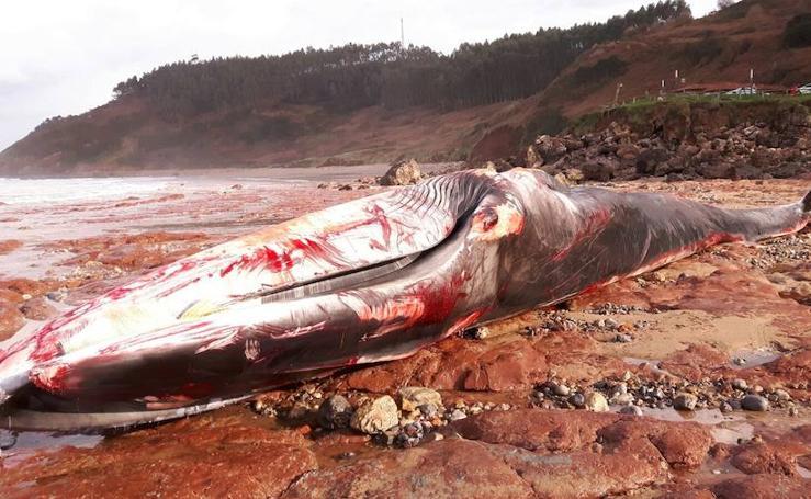 Una descomunal ballena aparece muerta en Caravia
