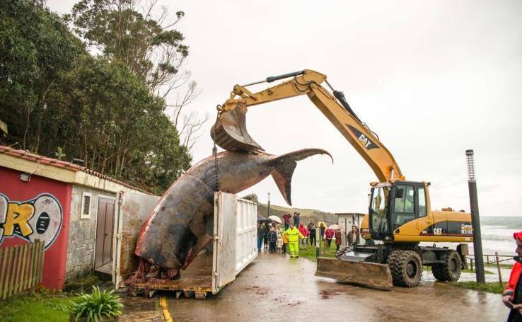 Despiezan la ballena varada en Caravia para poder retirarla