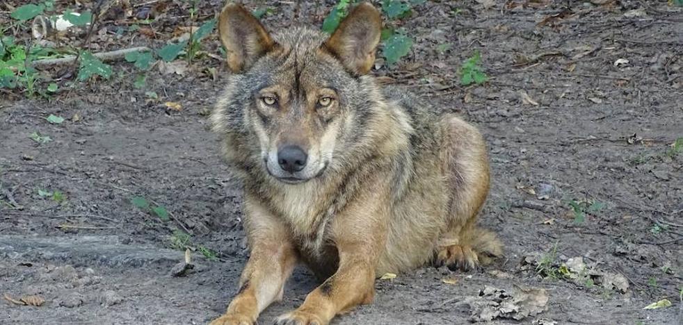 La Universidad de Oviedo participa en un estudio que constata la abundancia de lobos a escala regional