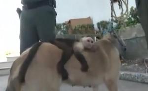 Una perra adopta a un mono capuchino en Colombia