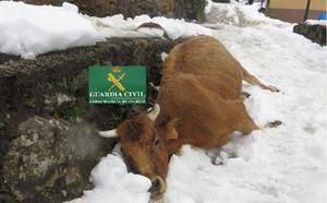Investigan a un vecino de Teverga por dejar morir de hambre a cinco vacas
