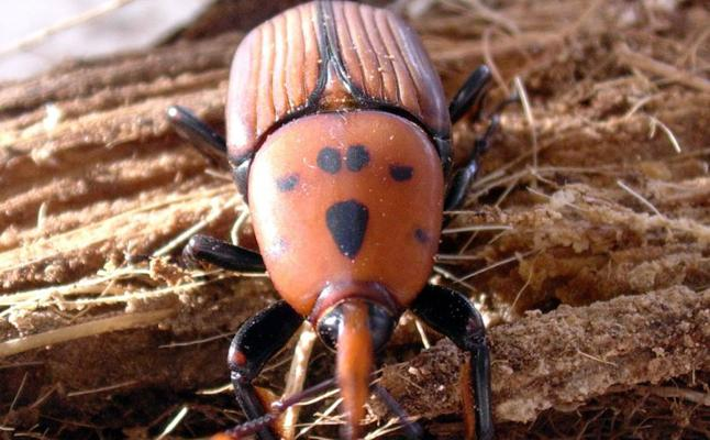La plaga del picudo rojo llega a Asturias