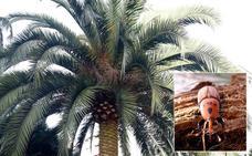 El Principado obliga a declarar las palmeras de Asturias ante la plaga del picudo rojo