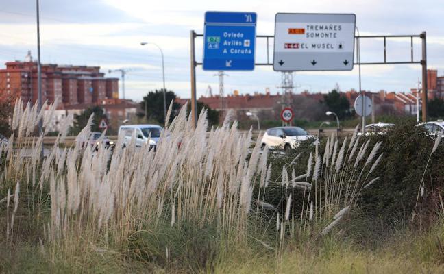 El Ayuntamiento de Gijón inicia un plan de choque contra el plumero de la pampa