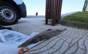 Hallado el cadáver de un tiburón abisal en la playa de Salinas