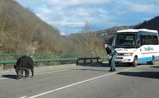 La Guardia Civil captura a lazo a un jabalí en el corredor del Nalón