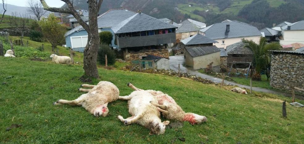 El lobo mata a ocho ovejas al lado de las casas en la localidad de Illaso en Villayón