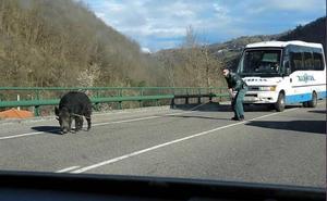 La Guardia Civil atrapa a lazo a un jabalí en el corredor del Nalón