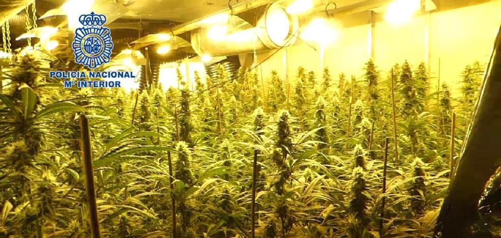 Detienen a cuatro chinos con 1.200 plantas de marihuana en Ciudad Naranco
