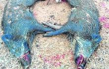 Una nueva cacería de jabalíes en Quintueles se salda con dos animales