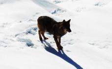 Los ataques del lobo crecieron un 14% en la vertiente asturiana de los Picos