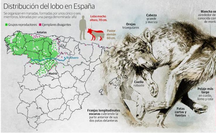 Distribución del lobo en España
