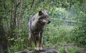 El Principado cifra en veinte los lobos muertos en 2017