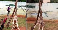 El trágico final de una jirafa con la cabeza atrapada en un árbol