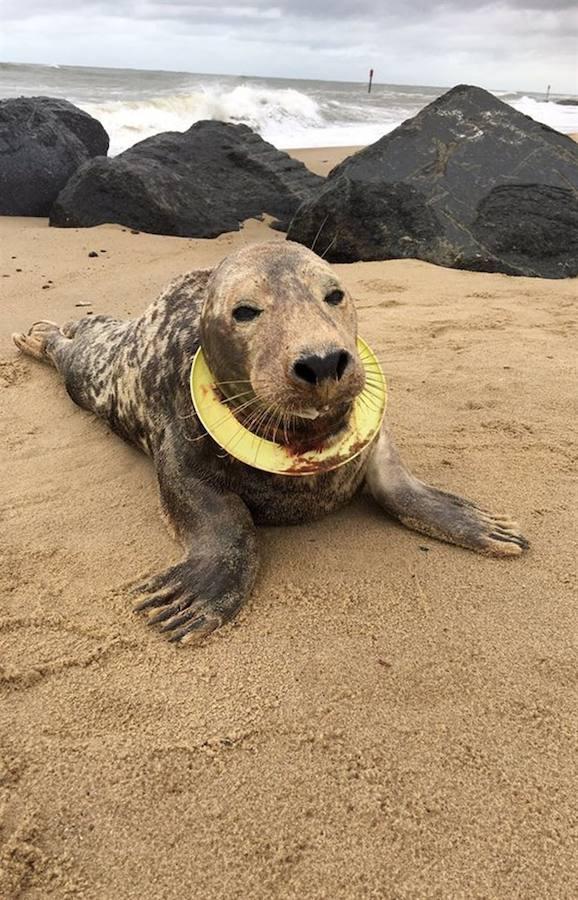 La historia de la foca que sobrevivió con un frisbee al cuello