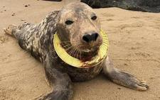 La historia de la foca que sobrevivió en el mar con un frisbee en su cuello