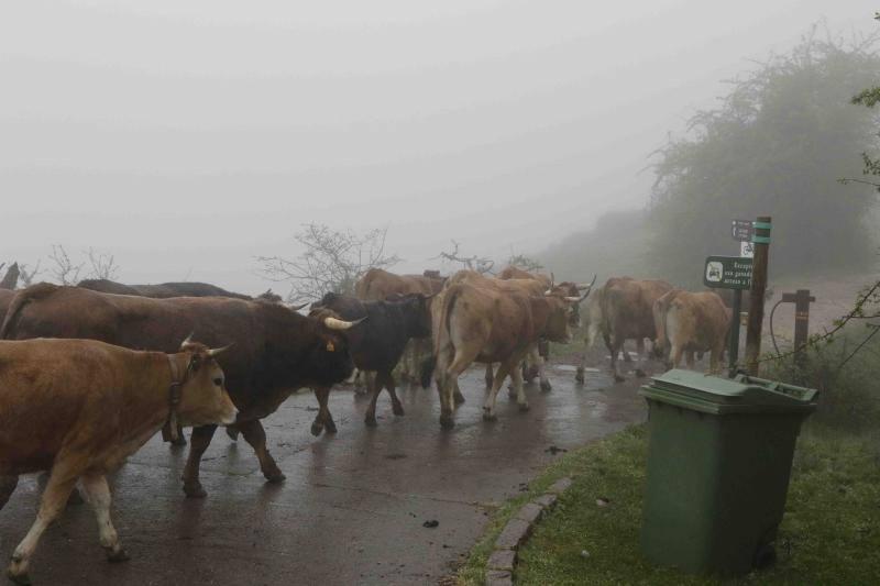 Tradicional subida del ganado al puerto de la Montaña de Covadonga