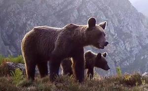 Límites al turismo para proteger al oso