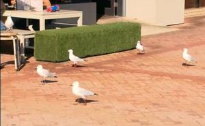 La original solución de un restaurante australiano para espantar a las gaviotas de su terraza