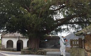 Allande solicitará la declaración de monumento natural para el tejo de Bustantigo