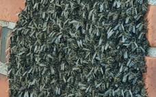 Aparece un espectacular enjambre de avispas asiáticas en Gozón