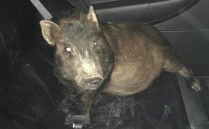 Detienen a un cerdo por acosar a un hombre de madrugada