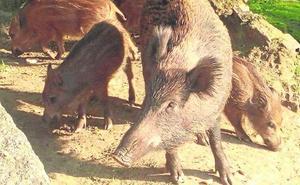 Los jabalíes también comieron el bollo en el Martes de Campo