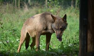 Lastra defiende la gestión del Principado en relación a los daños del lobo