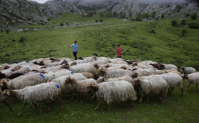 La reciella regresa a Covadonga con temor a los ataques del lobo