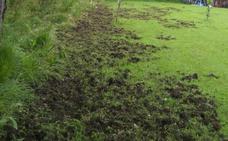 Siete jabalíes causan destrozos en fincas de Castiello de Bernueces