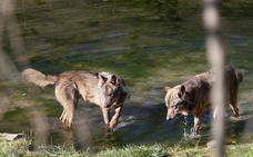 La Junta rechaza la iniciativa para convertir al lobo en especie cinegética