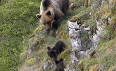 Las oficinas de turismo, sin información frente a los osos