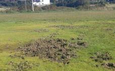 Los jabalíes destrozan el campo del Estudiantes, recién sembrado