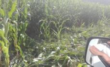 Una manada de jabalíes arrasa 17 hectáreas de maíz en Soto del Barco