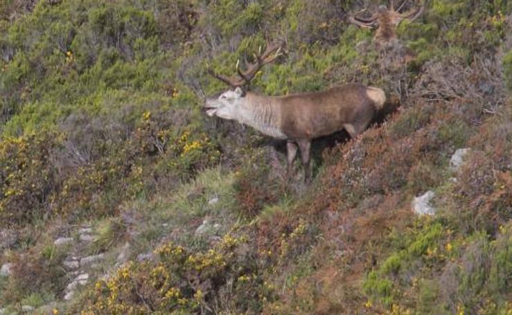 La berrea regresa a los montes asturianos
