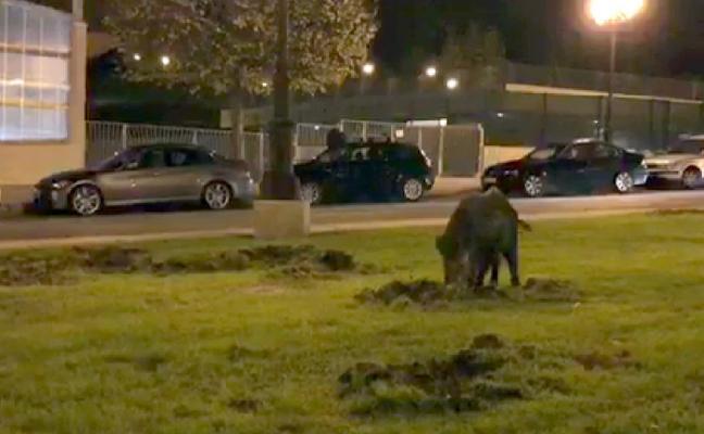 La Policía aleja a un jabalí de La Florida, en Oviedo