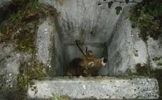 Rescatan a una vaca en Quirós tras caer en una alcantarilla